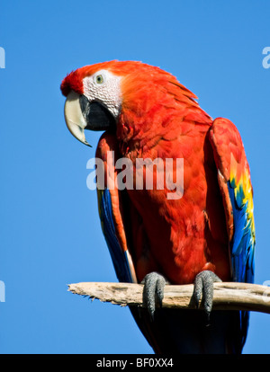 A colorful 'Scarlet Macaw' sits on a branch surrounded by blue sky at the 'San Diego Zoo' in 'San Diego,' 'California.' - Stock Photo