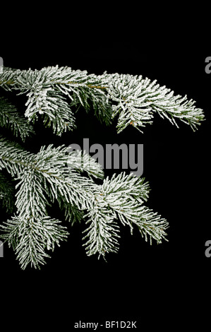 Snow-covered twig of a spruce, Denmark. - Stock Photo