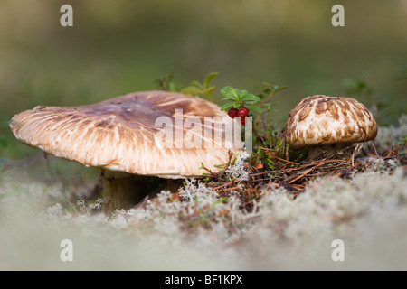 Matsutake in Swedish pine forest - Stock Photo