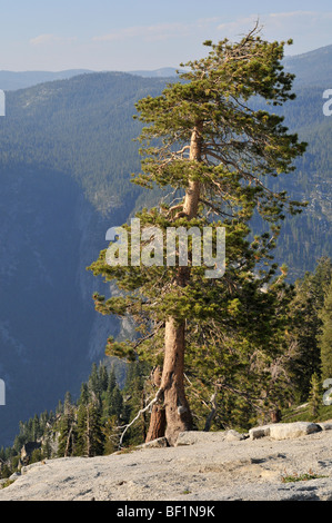 Pine tree standing alone on Sentinel Dome, Yosemite Valley, California. A chipmunk is visible in the bottom left - Stock Photo