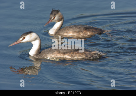 Two Great Crested Grebes, Podiceps cristatus, swimming together - Stock Photo