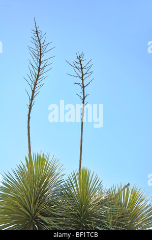 Yucca gloriosa, aka Spanish Dagger, Moundlily Yucca, Soft-tipped Yucca, Spanish Bayonet or Sea Islands Yucca - Stock Photo