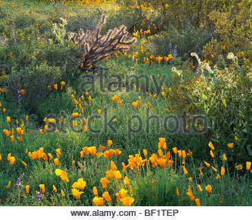 Mexican gold poppies with cholla cactus, fiddleneck, and lupine at sunset. Sonoran Desert. Picacho Peak Stae Park, - Stock Photo