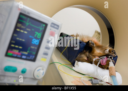 A dachshound dog undergoes a CT scan, at a Japanese veterinary clinic. - Stock Photo