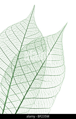 Closeup of dried rubber tree skeleton leaves - Stock Photo