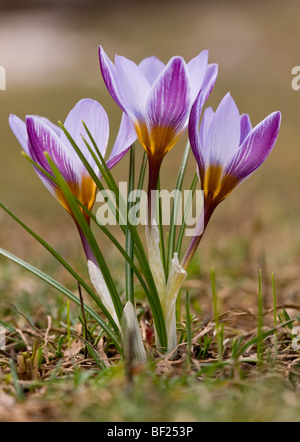 Blue crocuses Crocus biflorus ssp. isauricus at the snow-line in the Taurus Mountains, south Turkey. - Stock Photo
