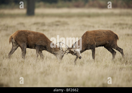 Two young male red deers fighting during the autumn rut, uk, Richmond Park - Stock Photo