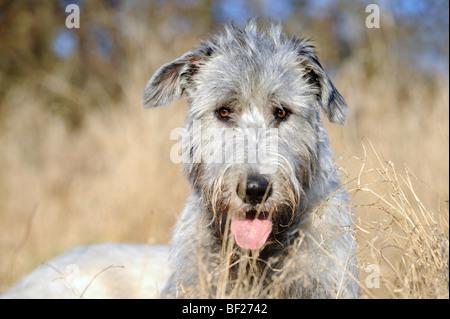 Irish Wolfhound (Canis lupus familiaris), portrait of adult. - Stock Photo