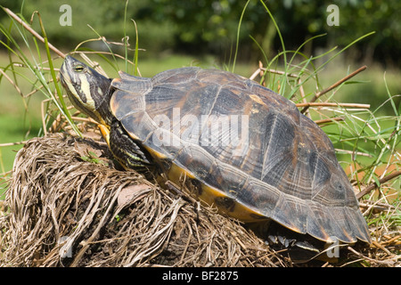 North American Yellow-bellied Turtle (Trachemys scripta scripta). Sun basking. Adult Female- short claws on fore - Stock Photo
