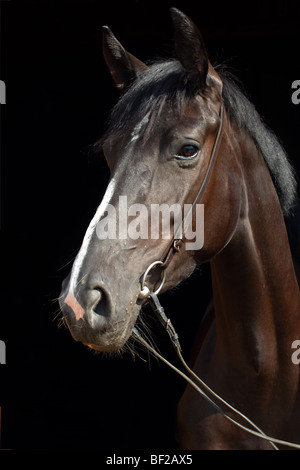 German horse - portrait in front of black background - Stock Photo