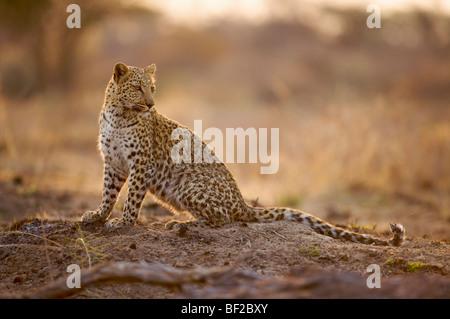 Leopard (Panthera pardus), Namibia. - Stock Photo