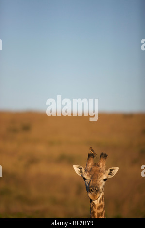 Bird sitting on Giraffe's (Giraffa Camelopardalis) horn, Ithala Game Reserve, Northern KwaZulu-Natal Province, South - Stock Photo