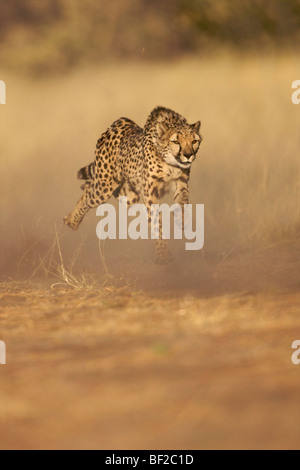 Cheetah (Acinonyx jubatus) running at full speed, Namibia. - Stock Photo