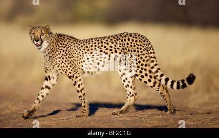 Cheetah (Acinonyx jubatus) walking and looking at camera, Namibia. - Stock Photo