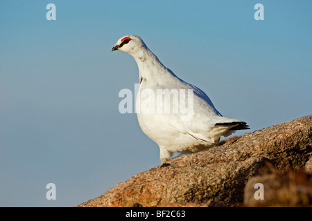 Willow Grouse, Ptarmigan (Lagopus mutus, Lagopus muta), adult male in winter plumage perched on rock. - Stock Photo