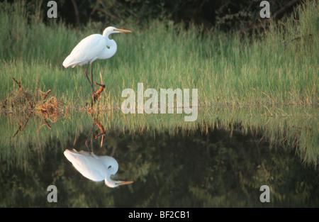 Great White Egret (Egretta alba) and reflection, Zimbabwe - Stock Photo