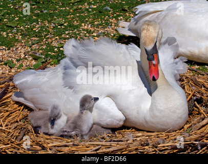 Mute Swan (cygnus olor) and Cygnets, on nest - Stock Photo
