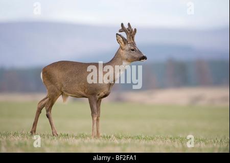 European Roe Deer (Capreolus capreolus), buck in field in late winter. - Stock Photo