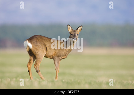 European Roe Deer (Capreolus capreolus), doe in field. - Stock Photo