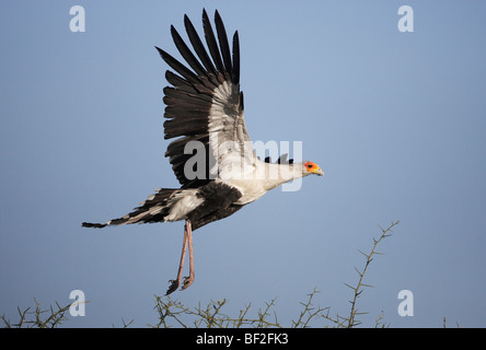 Secretary Bird (Sagittarius serpentarius), adult taking off from acacia tree. - Stock Photo