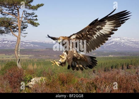 Golden Eagle (Aquila chrysaetos), in flight in mountain habitat preparing to land on stump (taken in controlled - Stock Photo