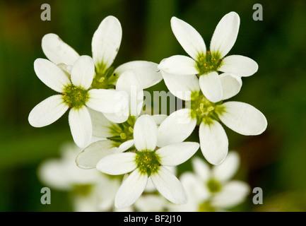 Meadow Saxifrage Saxifraga granulata flowers, close-up. Uncommon grassland plant. - Stock Photo