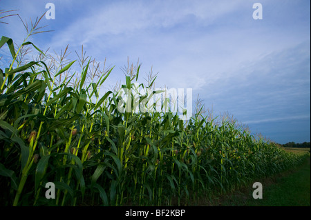Agriculture - View looking down along the edge of a mid growth fully tasseled grain corn field / near Northland, - Stock Photo