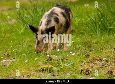 Piglet foraging in woodland clearing in the mountains of central Corsica, France. - Stock Photo