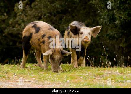 Piglets foraging in woodland clearing in the mountains of central Corsica, France. - Stock Photo