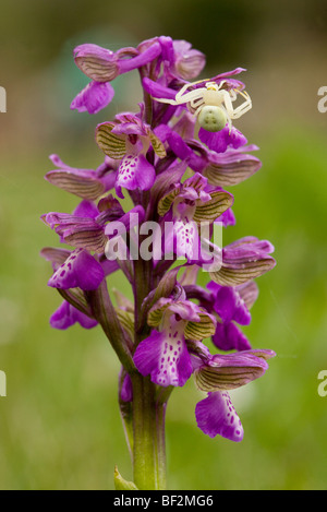 Green-winged Orchid Orchis morio with Crab Spider Misumena vatia on it, waiting for prey. Corsica, France. - Stock Photo