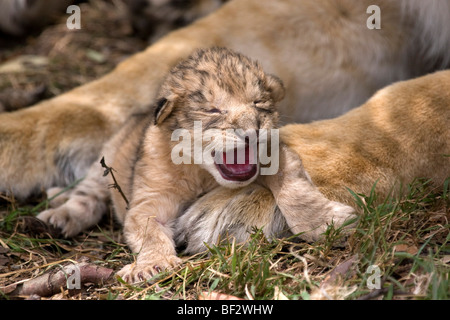 Day old Lion cub makes its first roar - Stock Photo