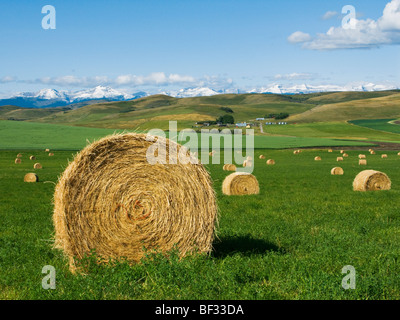 Agriculture - Round hay bales on an alfalfa field in the foothills of the Canadian Rockies in the distance / Alberta, - Stock Photo
