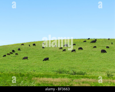 Livestock - Black Angus cows and calves feeding on a green hillside pasture / Alberta, Canada. - Stock Photo