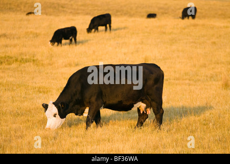 Livestock - Black Baldie cow grazing on a pasture of cured grass in early Autumn / Alberta, Canada. - Stock Photo