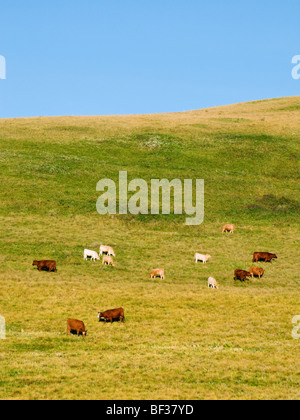 Livestock - Mixed breeds of beef cows and calves feeding on the slopes of a hillside pasture / Alberta, Canada. - Stock Photo