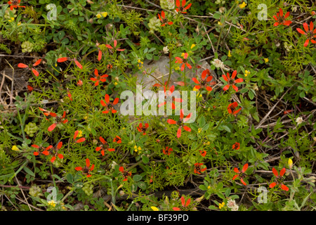 Pheasant's eye Adonis annua in abundance on Mt Parnassus, Greece - Stock Photo