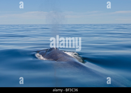 Blue Whale (Balaenoptera musculus) blowing at the surface. - Stock Photo