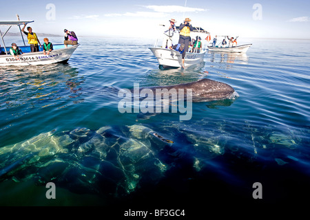 Gray Whale, Grey Whale (Eschrichtius robustus, Eschrichtius gibbosus). Whale-watchers with mother and calf. - Stock Photo