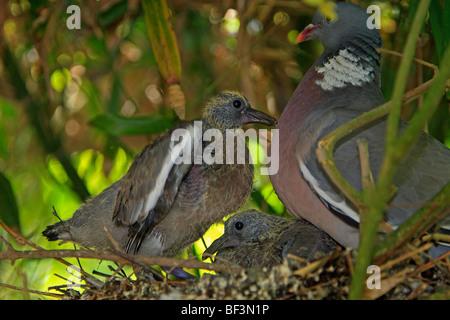 Wood Pigeon (Columba palumbus), adult with chicks at nest. - Stock Photo