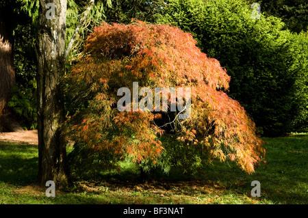 Acer palmatum dissectum, Cut-leaved Japanese Maple at Westonbirt Arboretum in Autumn - Stock Photo