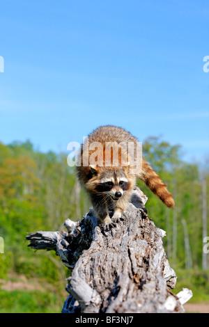 Raccoon (Procyon lotor) standing on a tree stump. - Stock Photo