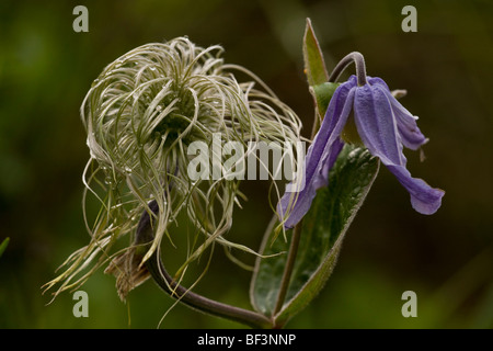Clematis integrifolia in flower and fruit - Stock Photo