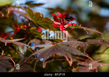 Acer palmatum Yasemin leaves in Autumn - Stock Photo