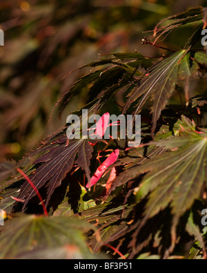 Acer palmatum Yasemin leaves and seeds in Autumn - Stock Photo