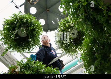 Agriculture - A worker tending to automatic irrigator for hanging baskets at a commercial greenhouse / Carleton, - Stock Photo