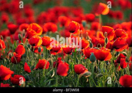 Poppy wild flowers red poppies red green nature environment poppy fields - Stock Photo