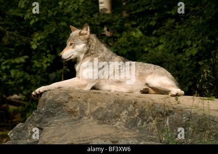 great plains wolf laying attentively on large rock - Stock Photo