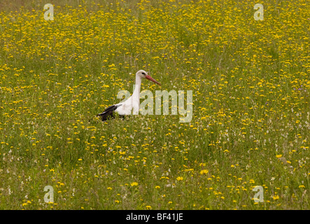 White stork Ciconia ciconia feeding in flowery meadow, Transylvania. - Stock Photo