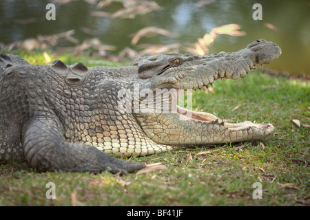A salt water crocodile resting on a large embankment. - Stock Photo