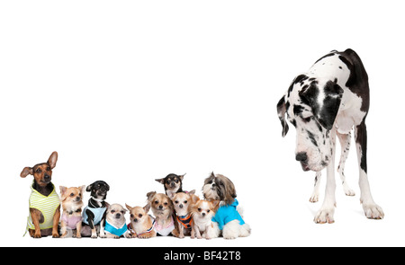 Large dog looking at small puppies in front of white background, studio shot - Stock Photo